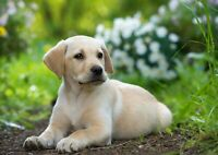 Awesome Cute Labrador Puppy Poster Print Size A4 / A3 Animals Poster Gift #8396