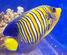 REGAL ANGEL FISH (PYGOPLITES DIACANTHUS)  MEDIUM - FISH FRESHWATER FREE SHIPPING