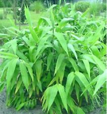 5 x Tiger Grass plants. 50mm Tubes Clumping bamboo. Screen. Tropical Hedge