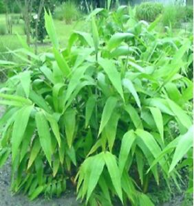 10 x Tiger Grass plants. 100mm maxi pots Clumping bamboo. Screen. Tropical Hedge