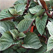 Salad - Perilla - Shiso - Bicoloured - 450 Seeds