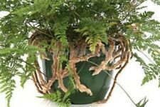 RABBIT FOOT FERN indoor plant in 160mm hanging pot