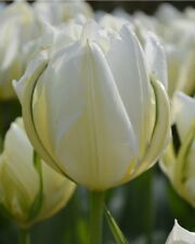 3 Tulip Fosteriana Purissima'White Emperor' bulbs*Pre-Chilled for Indoor Forcing