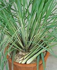 Cymbopogon Flexuosus Mosquito Repelling Lemon Grass Plant 100 Seeds #Ornamental
