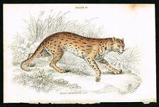 1834 Sunda Leopard Wild Cat, Hand-Colored Antique Print - Lizars