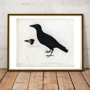 JOHN AUDUBON NATURE BIRDS ENGLISH CROW 28X22 INCHES ART PRINT