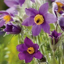 Suffolk Herbes-Anémone Fleur, Pulsatilla - 7 Graines