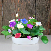 10Pcs Water Lily flower seeds Bonsai Lotos Rare Beautiful Home Water Plants