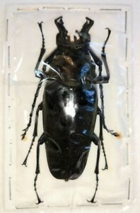 Autocrates aeneus, 67mm male, very scarce Trictenotomidae beetle from Tibet