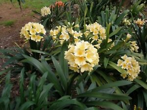 Hard to find YELLOW CLIVIAS, 3 plants for $60