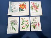 Antique Botanical Vilmorin Floral Color Print Lot 6 Lily Fuchsia Germany