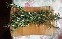 Fresh Organic Rosemary (24 Sprigs) with FREE SHIPPING!
