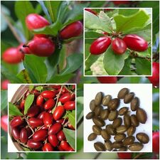 Miracle Fruit 5 Seeds Synsepalum dulcificum tropical exotic berry Rare Seasonal