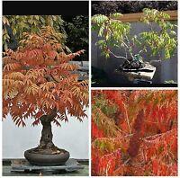 Staghorn Sumac Shrub/small tree, ideal for Bonsai and beautiful autumn foilage!