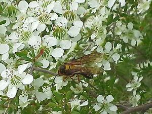 Manuka Jelly Bush 350 FRESH seeds Leptospermum polygalifolium cismontanum