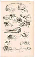 ANTIQUE PRINT VINTAGE 1840S ENGRAVING SCIENTIFIC NATURAL HISTORY SKELETON SKULL