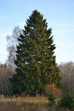 PICEA ABIES -NORWAY SPRUCE  PENDULOUS BRANCHES 25 seeds