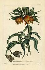 Fritillaria Imperialis or Crown Imperial. Stunning antique print c1794 by Miller