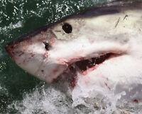 Nature GREAT WHITE SHARK Glossy 8x10 Photo Ocean Print Wall Art Poster Animals