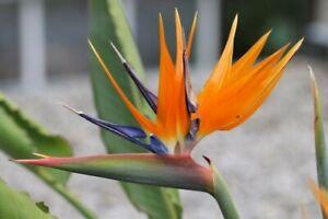 10 Samen Paradiesvogelblume Strelitzia reginae, Kübelpflanze