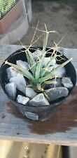 Leuchtenbergia principis cactus Succulent Home Garden Bonsai plants