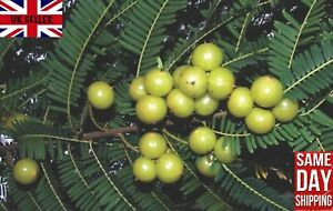 Indian Gooseberry Phyllanthus Emblica  آملا Amla अमला 20 Seeds Same Day Dispatch
