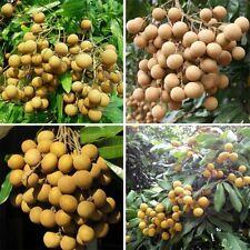 5pcs Longan Seeds Fruit Seeds tasty Dragon eyes Rare Exotic Bonsai Potted Plant