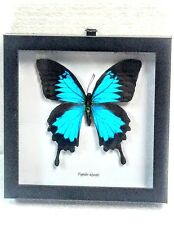 REAL PAPILIO ULYSSES MOUNTAIN BLUE SWALLOWTAIL TAXIDERMY IN BLK SHADOWBOX FRAME