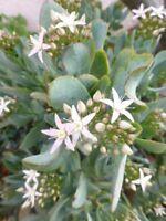 LA PLANTE crassula,feuilles vertes , rare , 3tronçons+suppléments..plantes