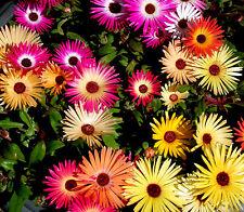 2000 Graines de Ficoïde Glaciale Mélange / Mesembryanthemum