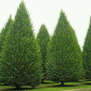 Hornbeam 'Fastigiata' 4-5ft Tall, Carpinus Betulus Upright Tree in 2.5L pot