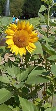 Die Blüte der Riesen Sonnenblume ist ein beliebter Magnet für Bienen.