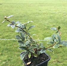Berberis darwinii (Darwin's barberry) FREE DELIVERY ON 5 OR MORE OF ANY PLANTS