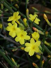 Jasminum nudiflorum Hardy Yellow Jasmine 1 Plant!