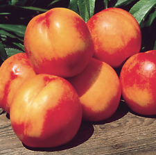 4/'-5/' Sunred Nectarine Tree Plant Live Fruit Trees Grow Your Own Healthy Fresh Natural Nectarines New Home Garden Best Orchard Plants Now