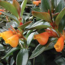 "Goldfish Plant 'Black Gold' (Nematanthus) - 1 Starter Plant - 8"" Tall - 3"" Pot"