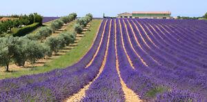 Huile essentielle de Lavandin Grosso de France - 30ml - Pure et naturelle