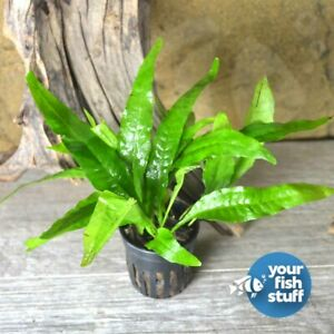 Java Fern Microsorum pteropus Potted Live Aquarium Plant **Buy 1 Get 1 50% OFF**
