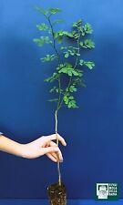 CORONILLA EMERUS alv Planta Plant Hierba corneta Escorpión senna ginestra