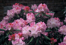 Rhododendron Ken Janeck - #2 Container Size Plant - Hardy to -5 F - Pink Blooms