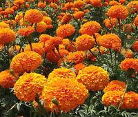 MARIGOLD CRACKERJACK MIXED COLORS Tagetes Erecta - 200 Seeds