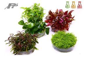 Live Aquarium Plants - In vitro - All species - Sale and Buy 3 get 1 Free