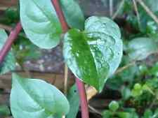 "CEYLON SPINACH SEEDS ""RED STEM"" (30 SEEDS)"