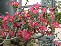 Rosa del Desierto - ADENIUM OBESUM- 5 Semillas