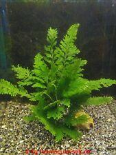 Regenschirmfarn - Selaginella willdenowii Terrariumpflanzen Paludariumpflanzen