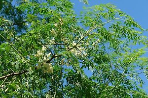 Moringa (5 Semillas/Semillas)