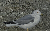 Kenneth Michael (Ken) Kirkby Oil Painting Seagull Canadian Listed Artist