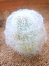 Espostoa Nana, rare columnar cactus Pseudoespostoa melanostele seed - 15 seeds