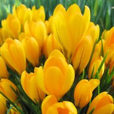 PRE-ORDER - 100 x Humphreys Garden Crocus Yellow. Yellow Spring Flowering bulbs