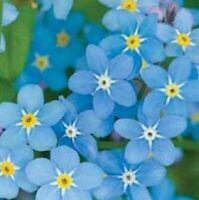Chinese Forget Me Not Seeds 200 SEEDS  --BUY 4 ITEMS FREE SHIPPING